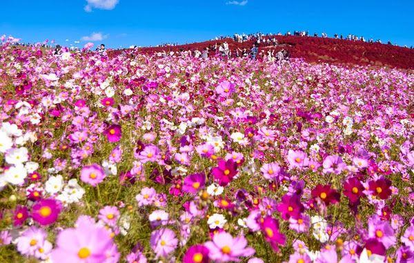 Hallerbos Halle Forest Belgium Hitachi Seaside Park Jepang Musim Bunga Setiap Tahun Para Pelancong Gambar Bunga Bunga Bunga Cantik