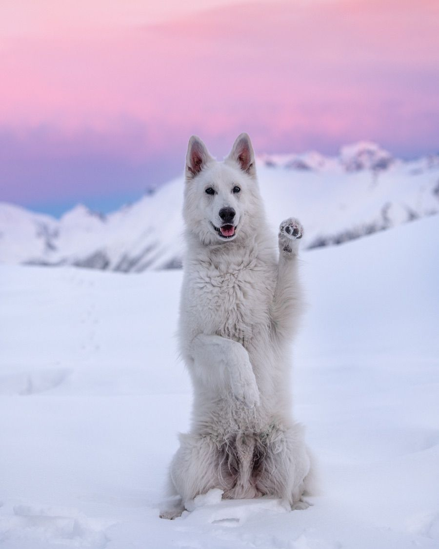 White Shepherd In Snowy Landscape Sit Pretty Dog Trick Pretty