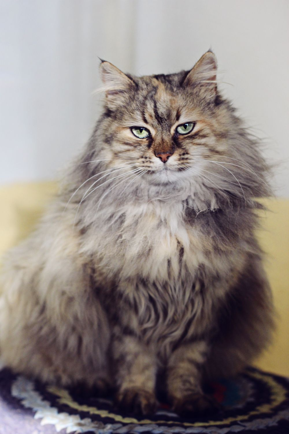 Siberian cat hypoallergenic CATS MEOW Pinterest