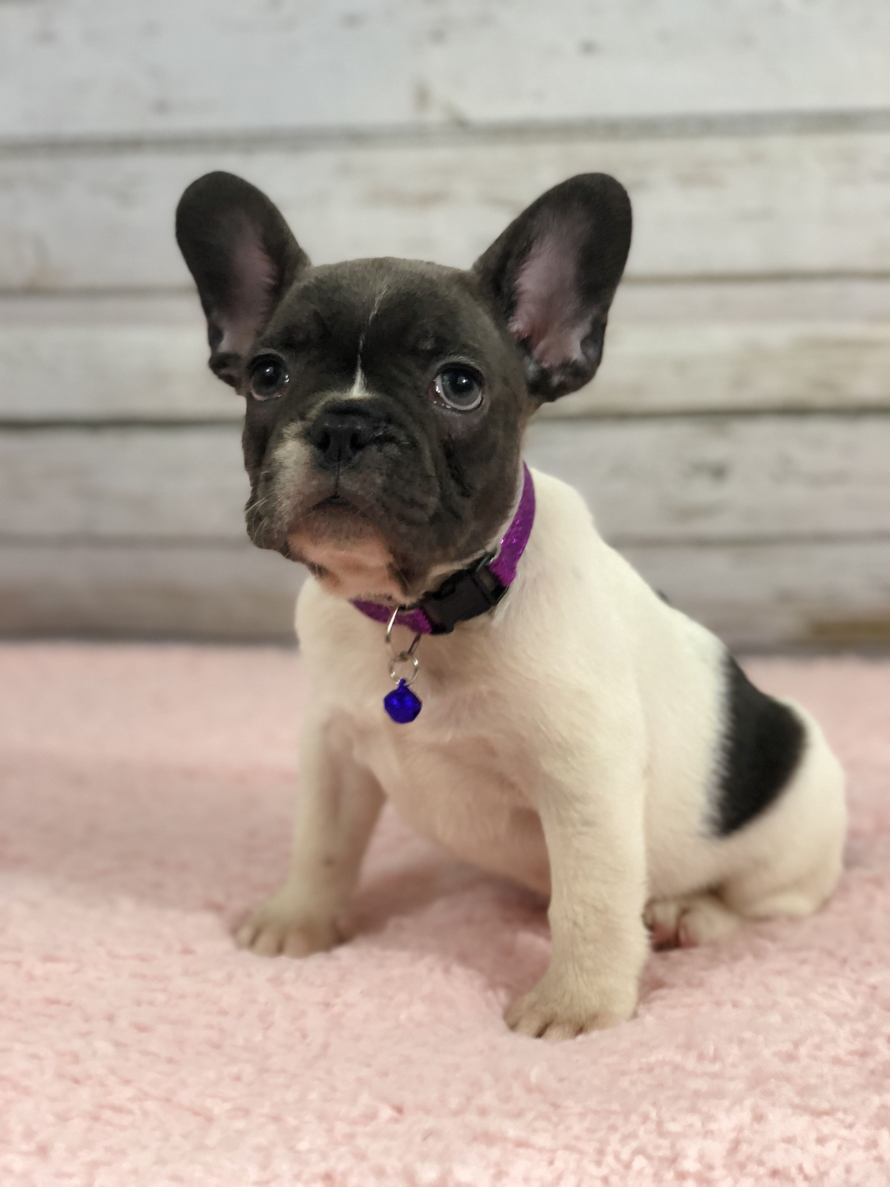 Www Gaugerslittlebullies Com Blue Pied French Bulldog Female