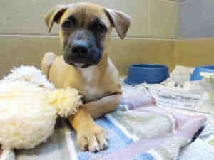 Amelia Is An Adoptable German Shepherd Dog Dog In Raleigh Nc