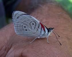 mariposas de venezuela - Buscar con Google