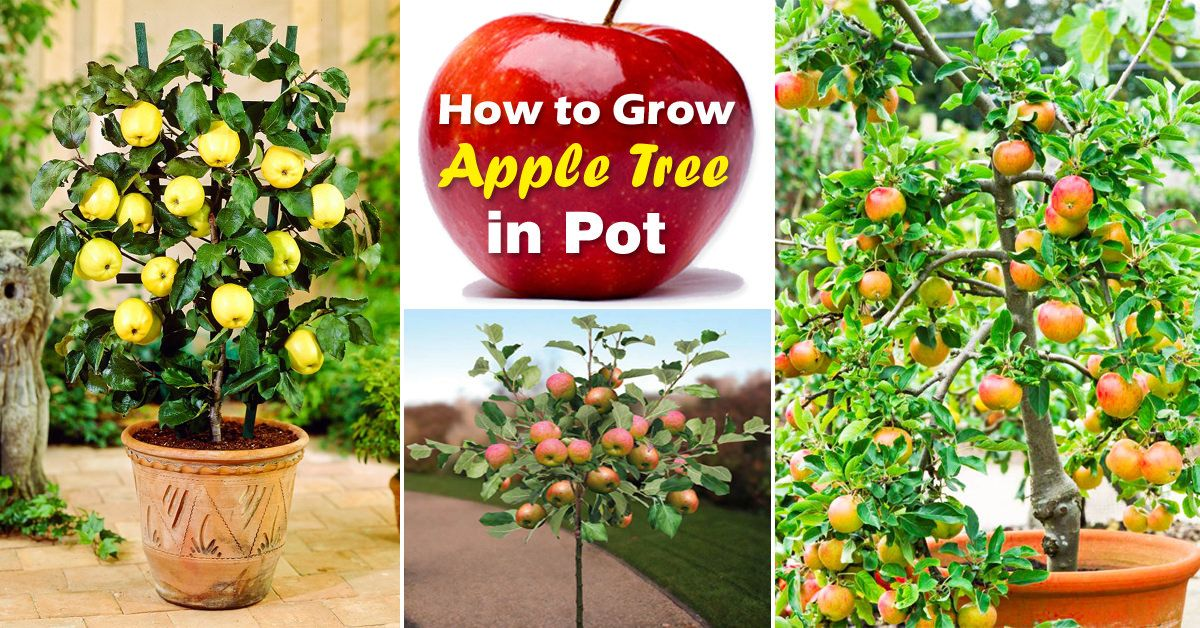 How To Grow An Apple Tree In A Pot Everything About Growing Apples Potted Trees Apple Tree Container Gardening Fruit