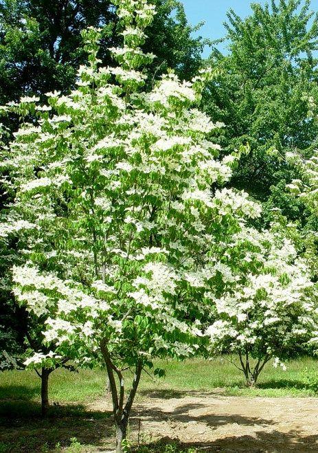 Cornus kousa ' China Girl ' White Flower Japanese Dogwood