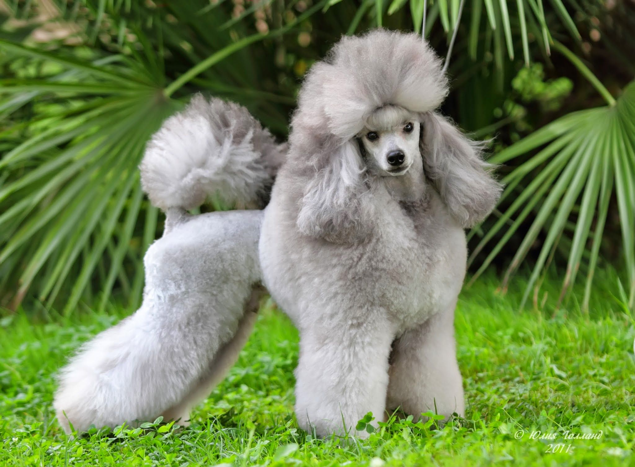 Gorgeous Silver Poodle Pure Breed Dogs Dog Breeds Poodle