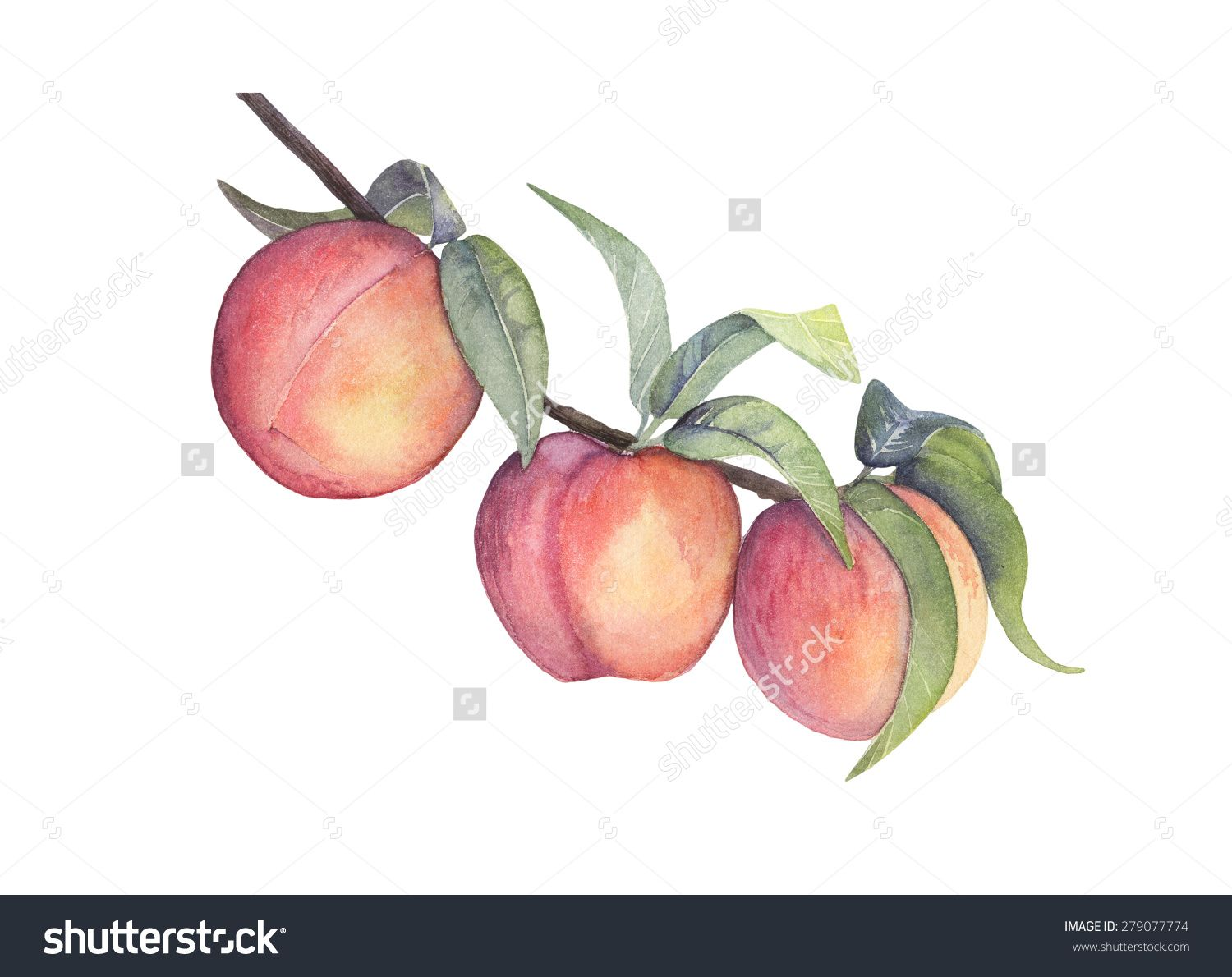 Watercolor Peach Branch With Fruits Stock Photo 279077774 Shutterstock