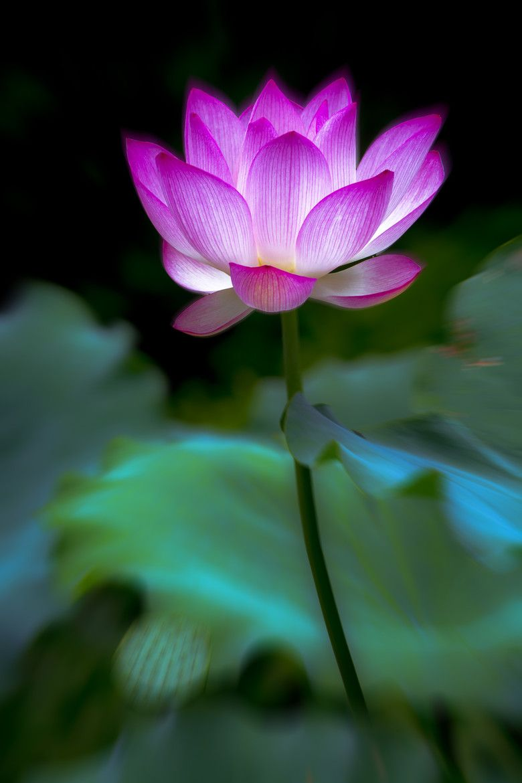 Colorful lotus par ng wai chor on 500px flora pinterest lotus colorful lotus par ng wai chor on 500px izmirmasajfo