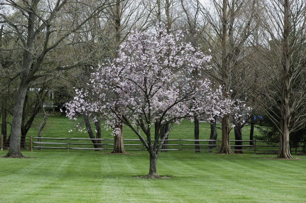 Star Magnolia Tree In Bloom The Outdoor Room Magnolia Trees