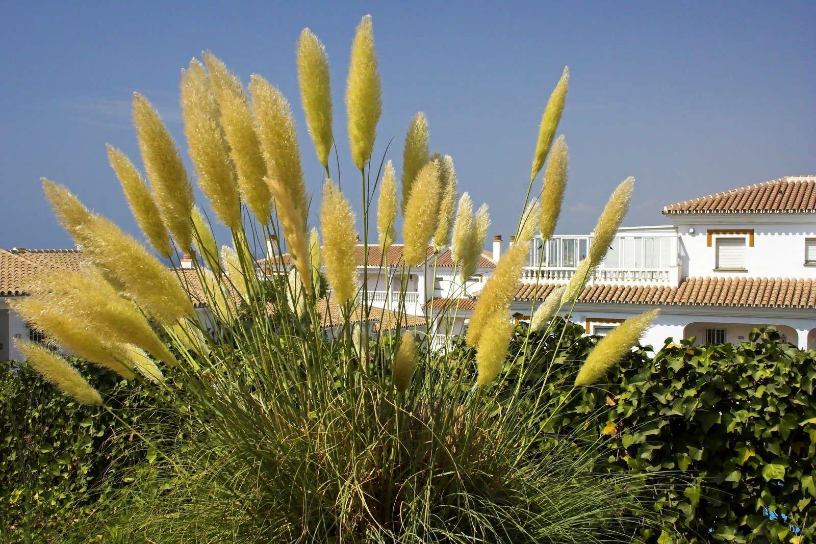 Pampasgras pflanzen Tipps zum Einpflanzen in Kübel & Beet
