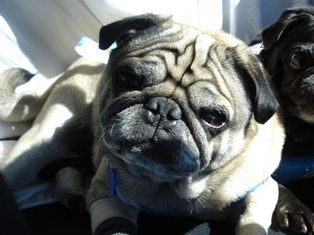 Adopt Me Today Prescott The Cutest Sweetest Pug Needs An Az