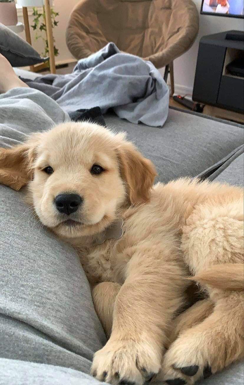 47 Adorable Golden Retriever Mix Breeds Doggypedia In 2020 Golden Retriever Mix Puppies Super Cute Dogs Super Cute Puppies