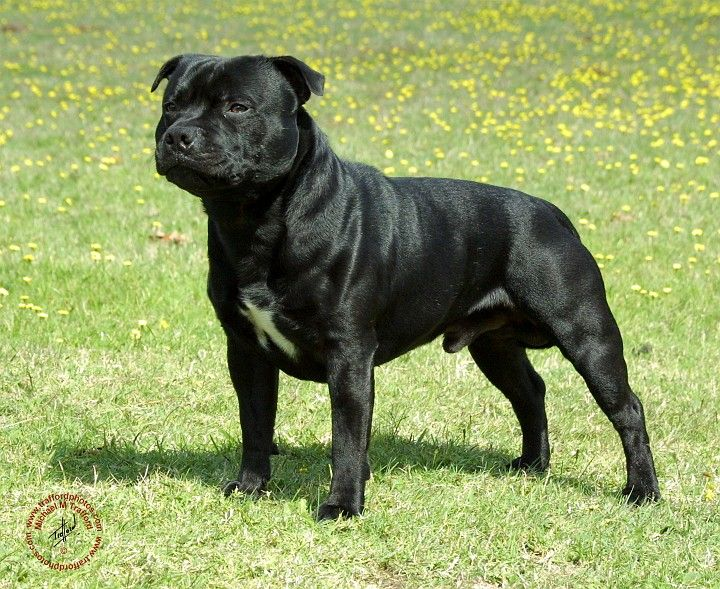 Black Staff Staffordshire Bull Terrier Bull Terrier Dogs