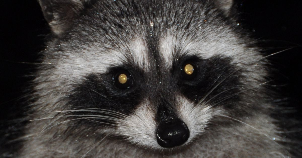 Have You Ever Seen The Aftermath Of A Raccoon That Has Been Living In An Attic It S Not A Pretty Sight These Creatures Will Tear Up The Duct W With Images