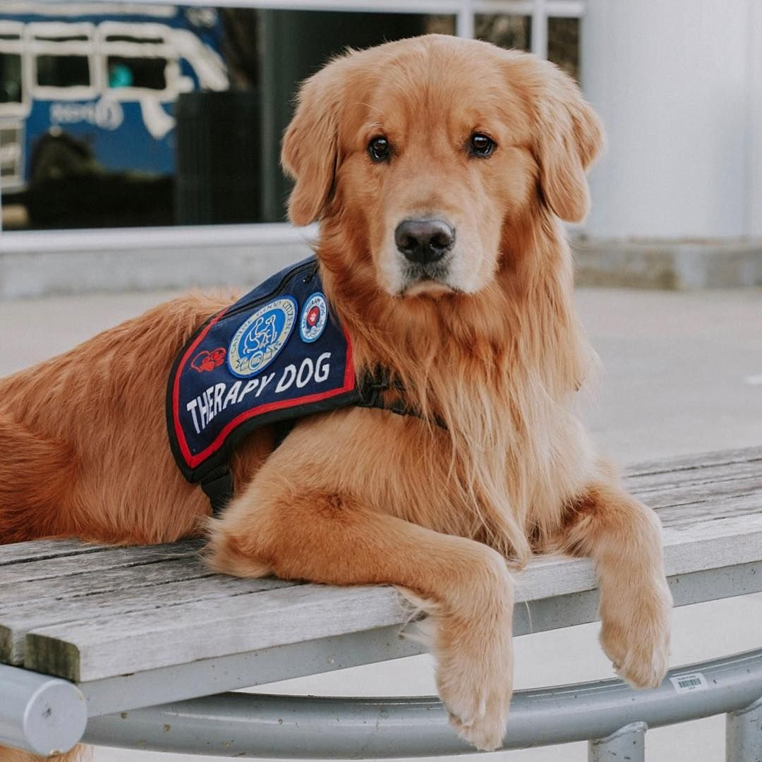 Rufio The Golden Retriever On Instagram Therapy Dog And Proud
