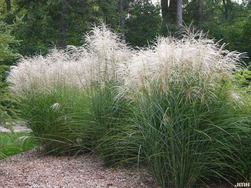 miscanthus sinensis 39 graziella 39 eulalia 39 graziella. Black Bedroom Furniture Sets. Home Design Ideas