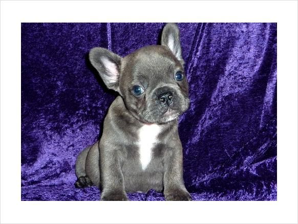 Blue French Bulldog Puppies For Sale 300 French Bulldog Puppies Blue French Bulldog Puppies French Bulldog Blue