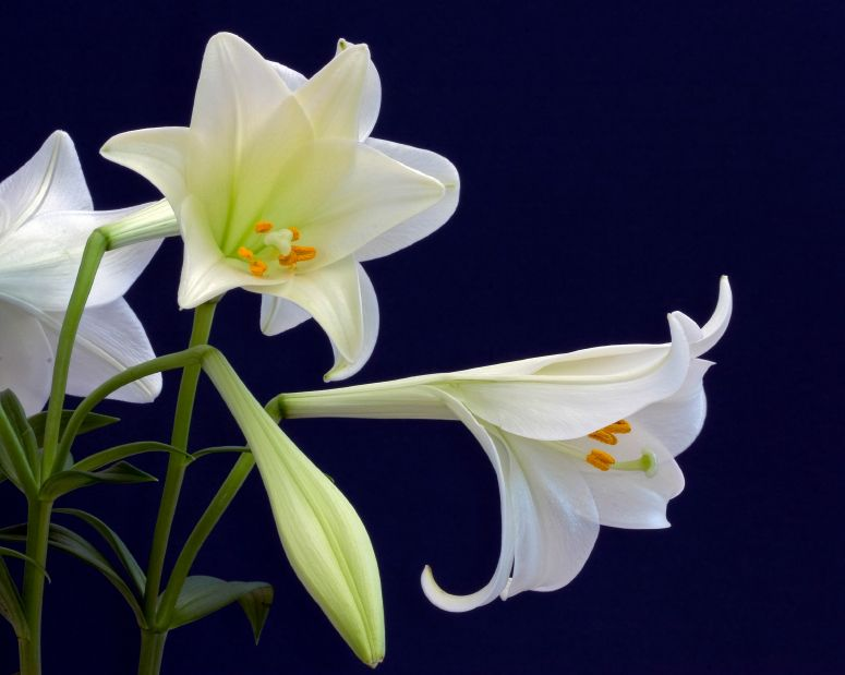 Happy Easter weekend, everyone! Did you know Easter lilies are native to the southern islands of Japan?