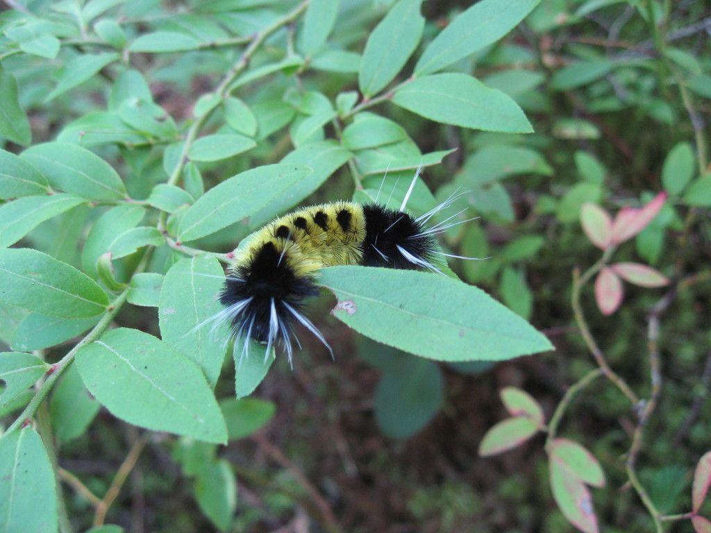 Spotted Tussock Moth Caterpillar Sting en 2020