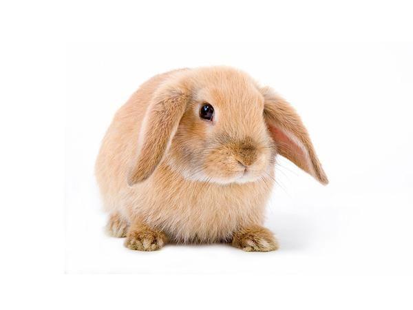Mini Lop Rabbits Animals For Kids Mini Lop Mini Lop Rabbit