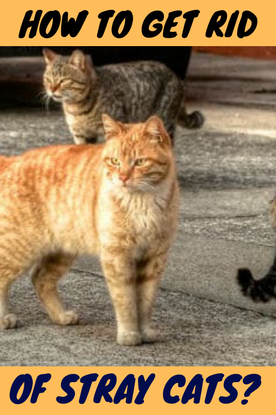 How To Get Rid Of Stray Cats Stray Cat Cats Beautiful Cats Pictures