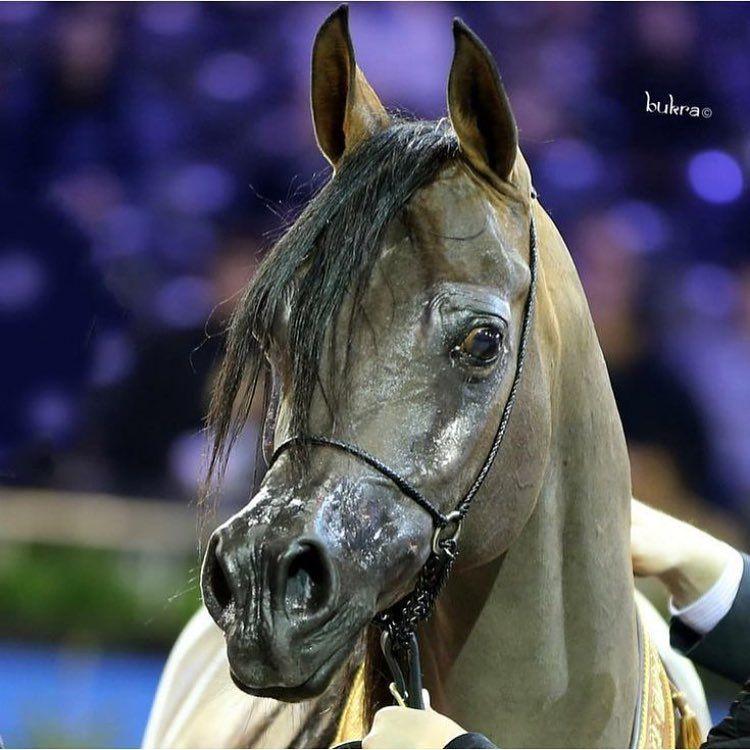 El Amor Pianissma الحب بينسما بنت غزال الشقب Arabian Horse Horses Arabians