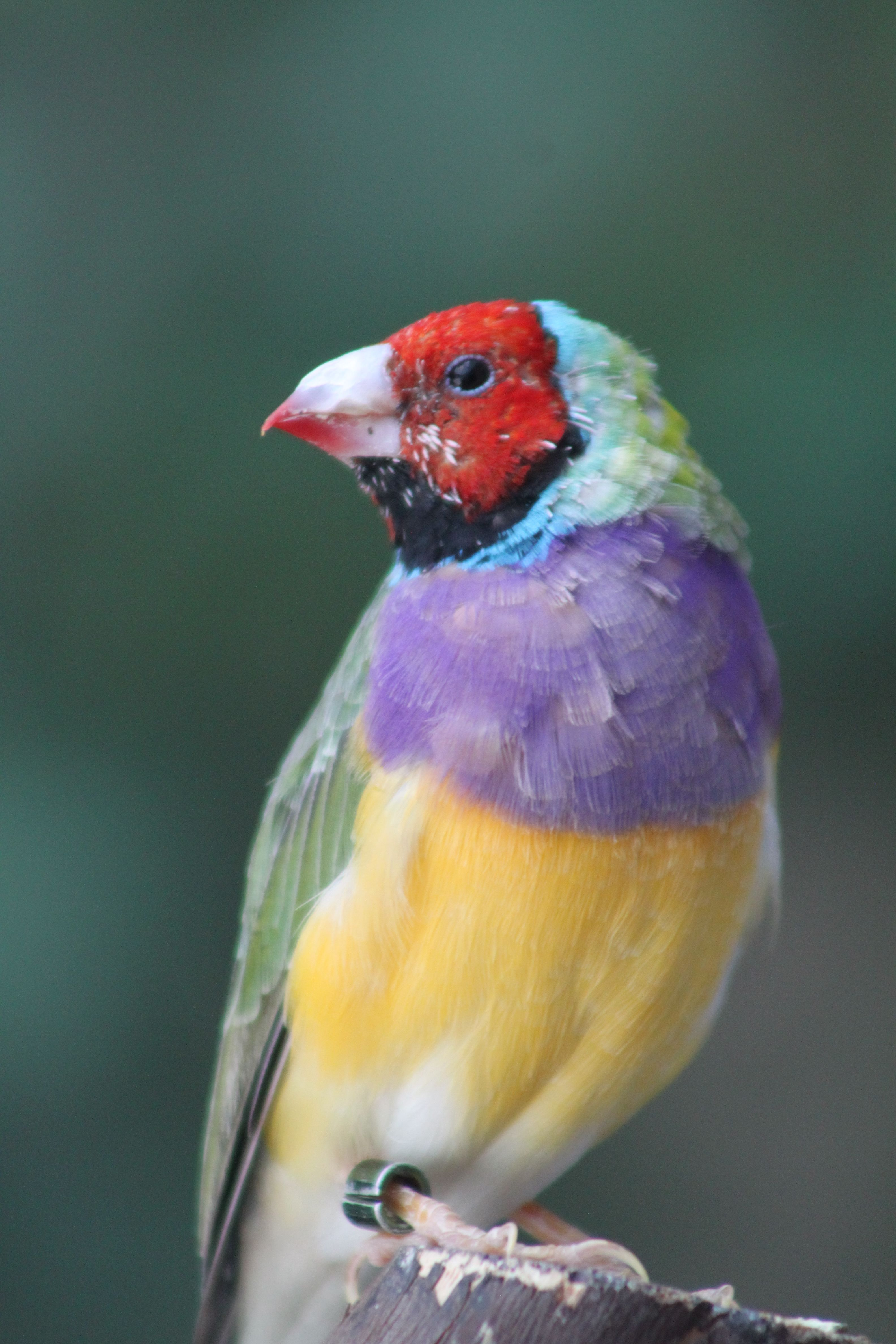 Gouldian Finch - taken at the National Aviary in Pittsburgh