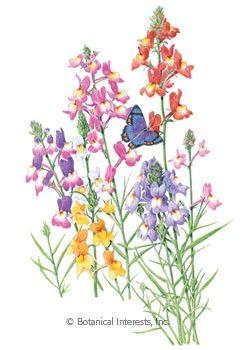 Buy Phenomenal Lavender Herb Plants Free Shipping 1
