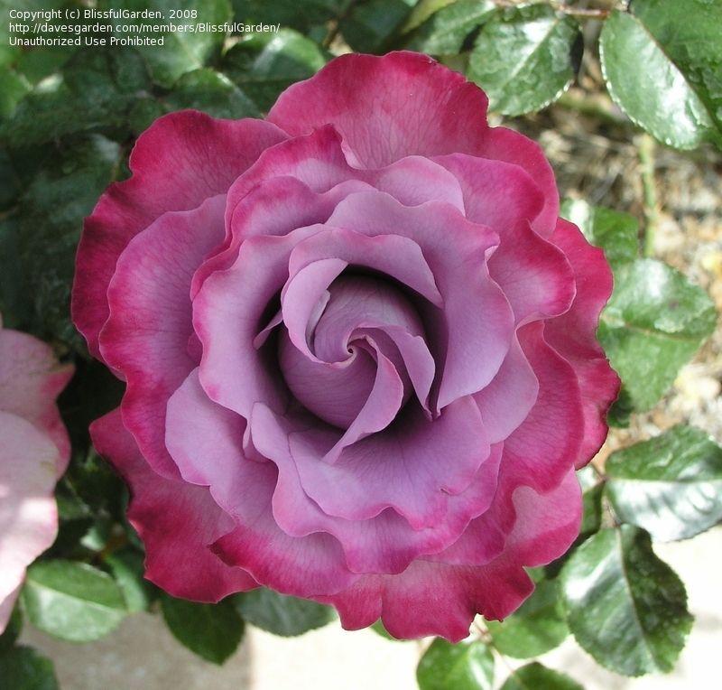 "Floribunda ""Angel Face"" Rose Standard"