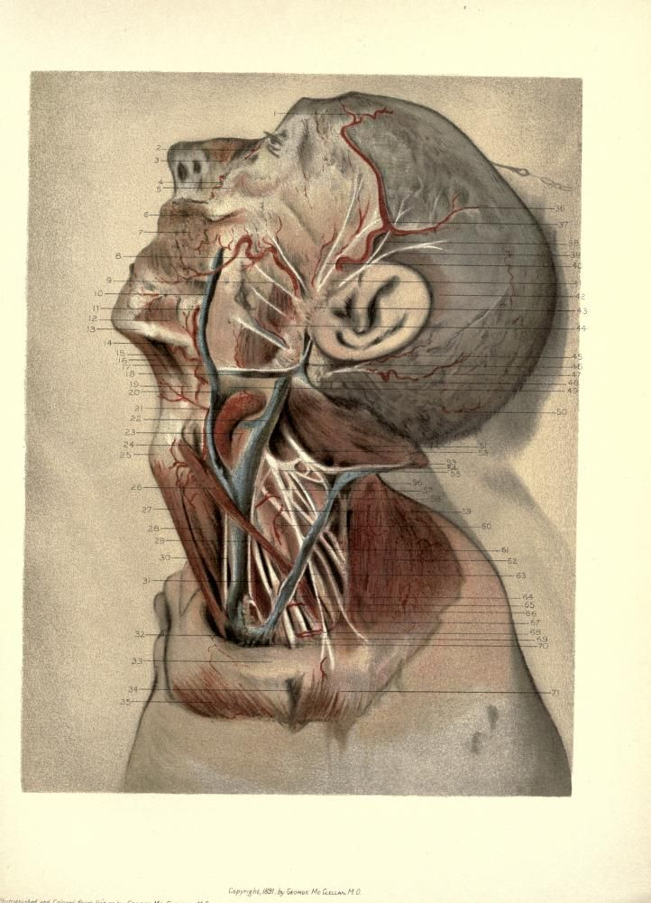 Plate 20 Dissection Of The Vessels And Nerves Of The Scalp And Face