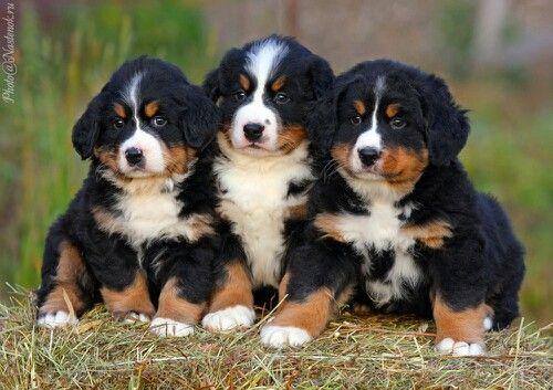 берн порода собак