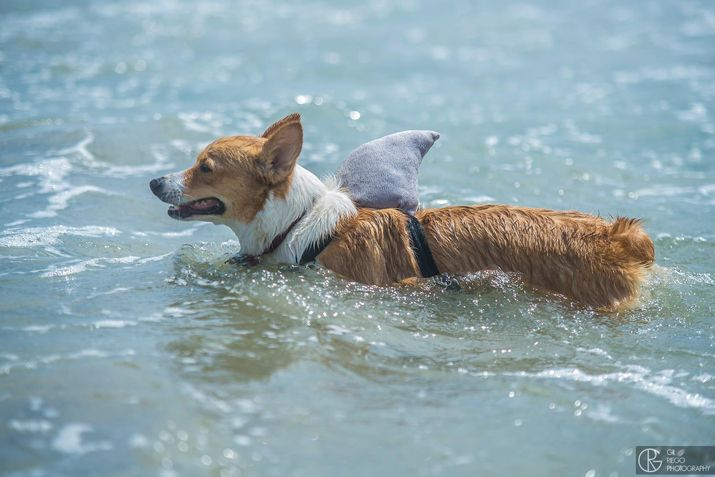 Socal Corgi Beach Day The Nectar Collective Corgi Shark Costumes Corgi Dog