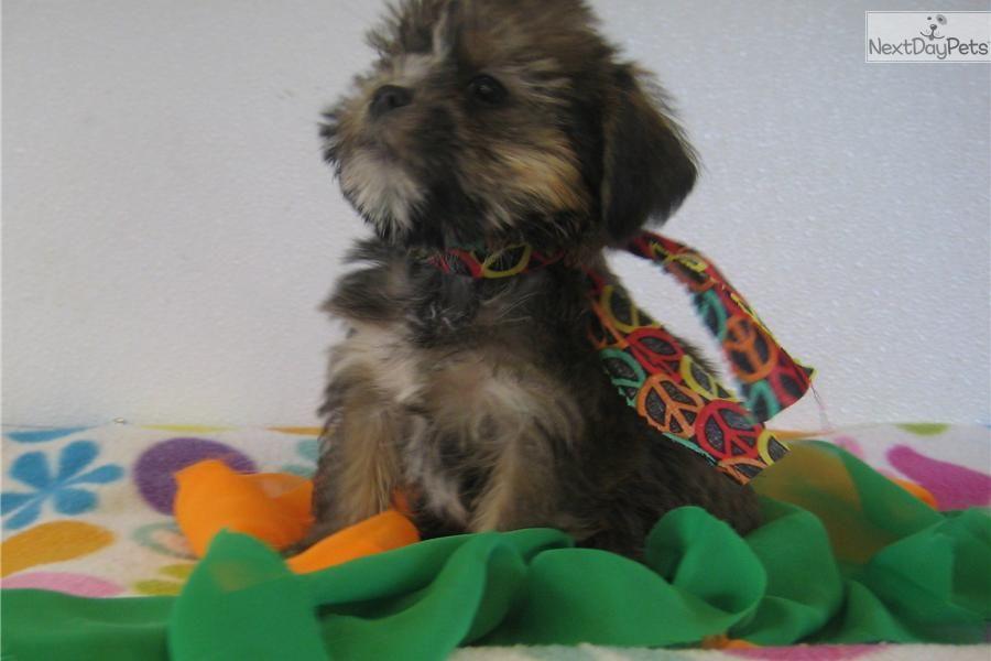 Sadie Yorkiepoo Yorkie Poo Puppy For Sale Near Springfield