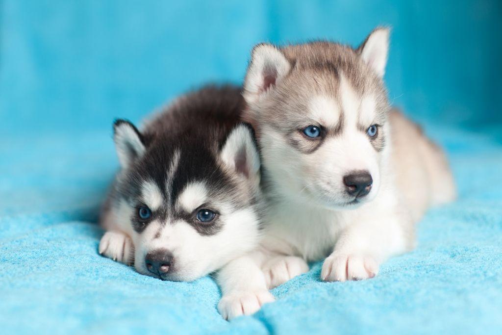 Difference between mini Siberian huskies and Alaskan Klee