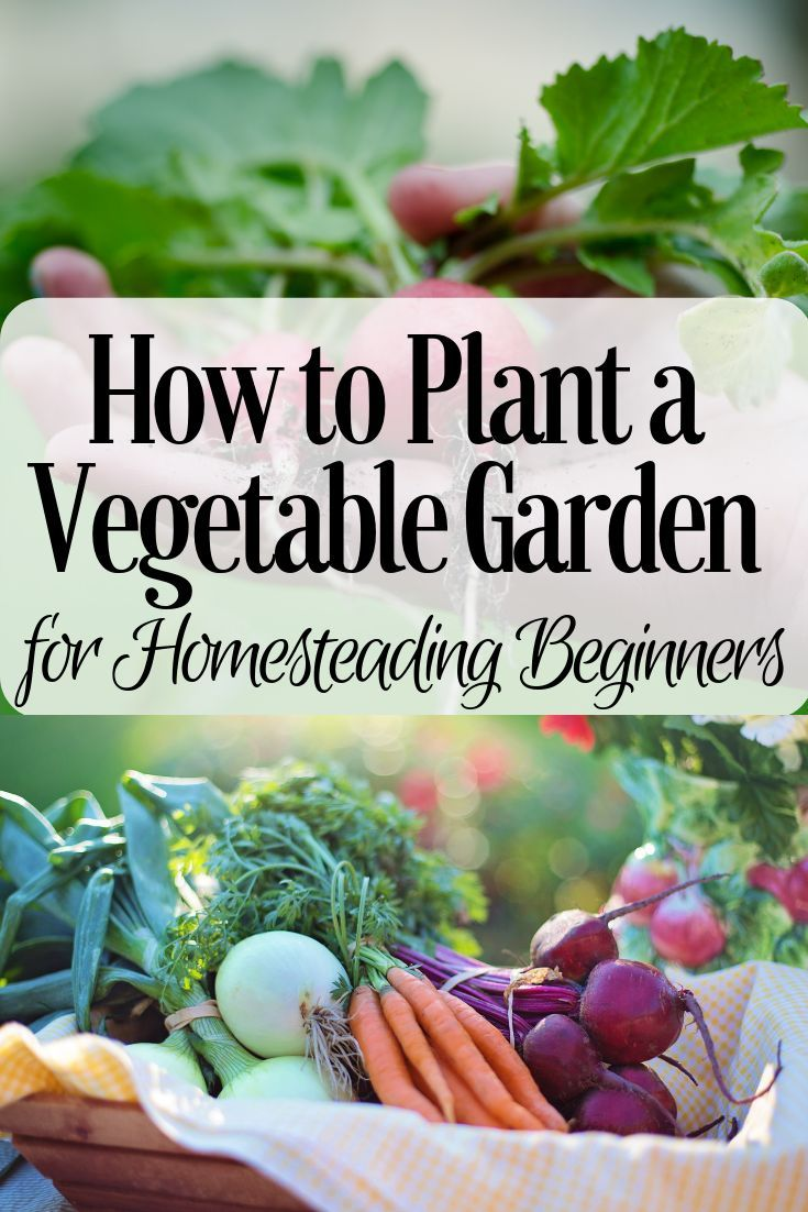 How to Plant a Vegetable Garden for Homesteading Beginners is part of Organic vegetable garden, Home vegetable garden, Vegetable garden for beginners, Organic gardening tips, Garden pests, Gardening for beginners - How to plant a vegetable garden for homesteading beginners when just starting out  These are things I wish I would've done when beginning