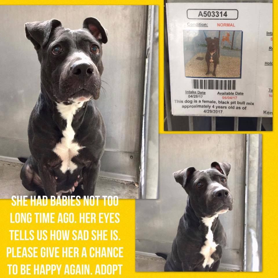 **JESSICA** #A503314 6-14-17 SAN BERNARDINO, CA - VERY SAD GIRL...HAD PUPS RECENTLY.-FEMALE 4-YR-PITTIE TERRIER MIX #PUPDATE #6/7/17 #STILL #ALIVE #PLEASE #KEEP #SHARING #THIS #ANGEL #NEEDS #HELP #ASAP #SHELTER #IS #FULL #AGAIN #WILL #KILL #FOR #SPACE #WITHOUT #NOTICE INTAKE APRIL 28, 2017. CALL 909/384-5385 EMAIL: sbcity.org/cityhall/police_department/animctrl.defaultasp