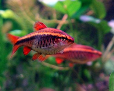 Cherry Barb Information Aquatic Mag Fish Aquarium Fish Pet Fish