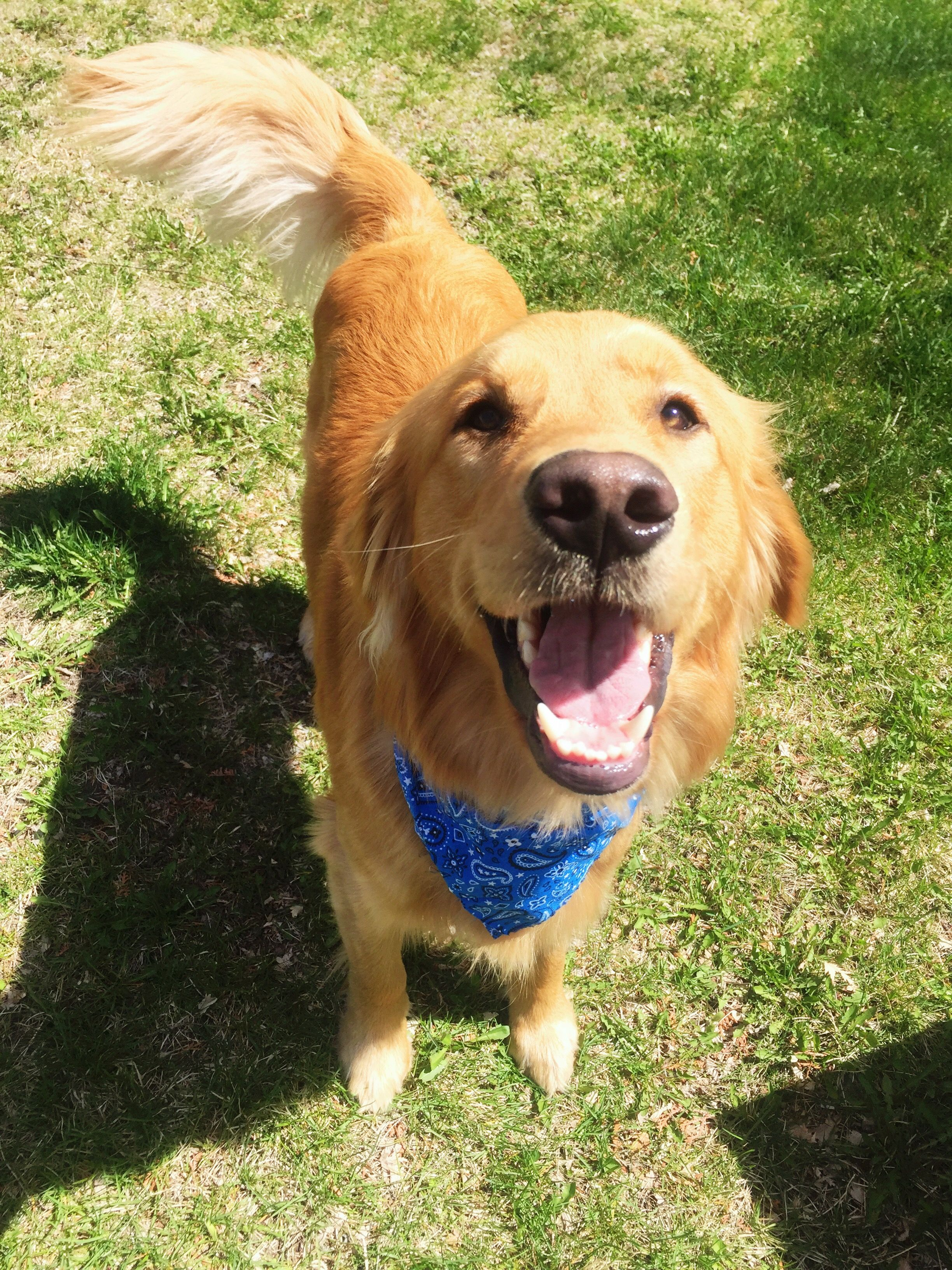Happy Dog Happy Dogs Golden Retriever Dogs