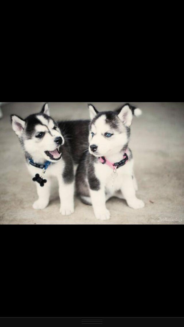 Husky puppies :)
