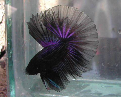 Purple And Black Betta Fish Betta Pet Fish