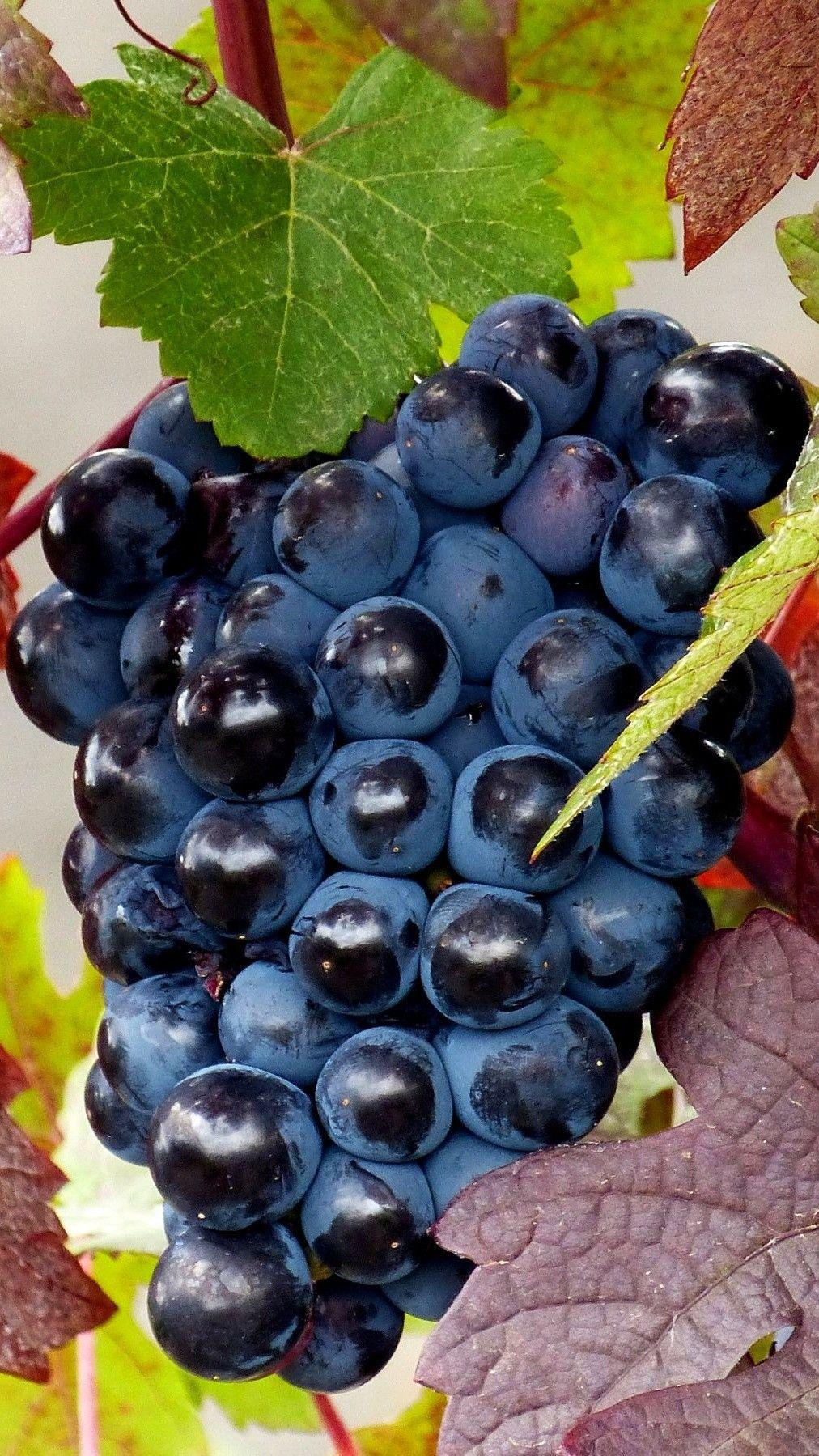 Abundance of Fruits Wallpaper Border Grape Fig Tuscan Country Kitchen Wall Decor