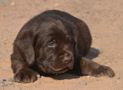 Chocolate Lab Pups Family Loved Labs English Labradors For Sale