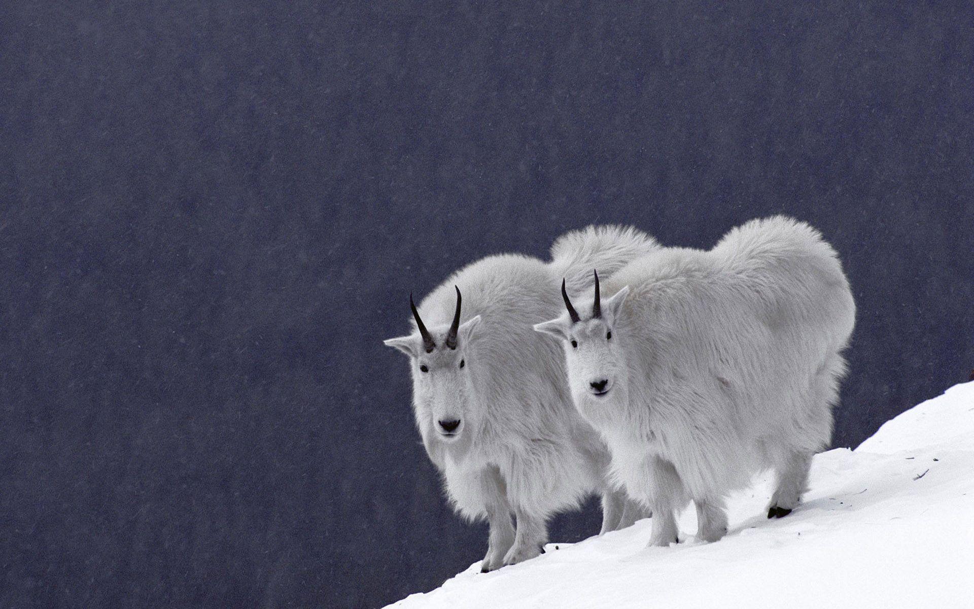 Mountain Goat (Oreamnos americanus) pair on snowy mountain slope, Rocky Mountains, North America