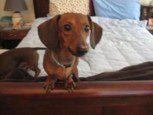 Benji Is An Adoptable Dachshund Dog In Somerville Ma Benji Is A