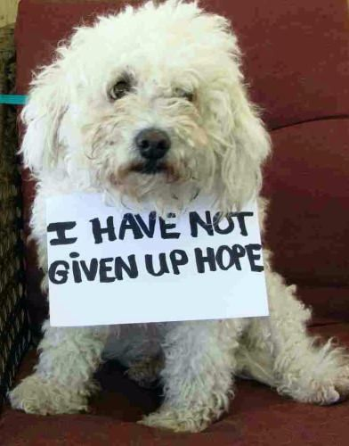 His Sign Says It All Help Him Find A New Home Snowball Poodle