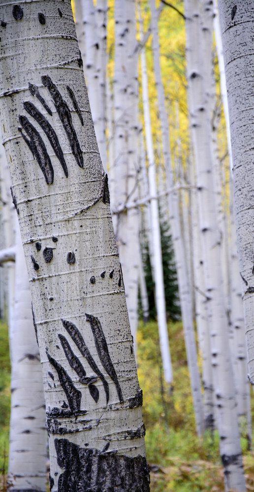 Aspen tree wall art fall decor Colorado art aspen trees   Bathroom ...
