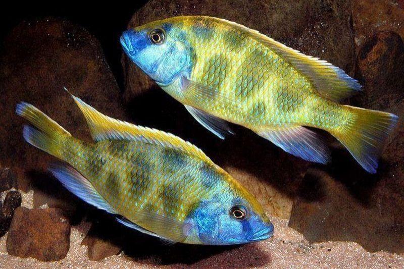 Nimbochromis Venustus African Cichlids Cichlids Cichlid Fish