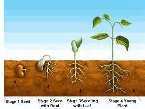 Image result for stage of plants