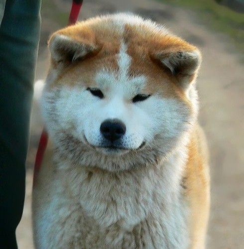 Red Brindle Japanese Akita Girl Akita Puppies Japanese Dogs