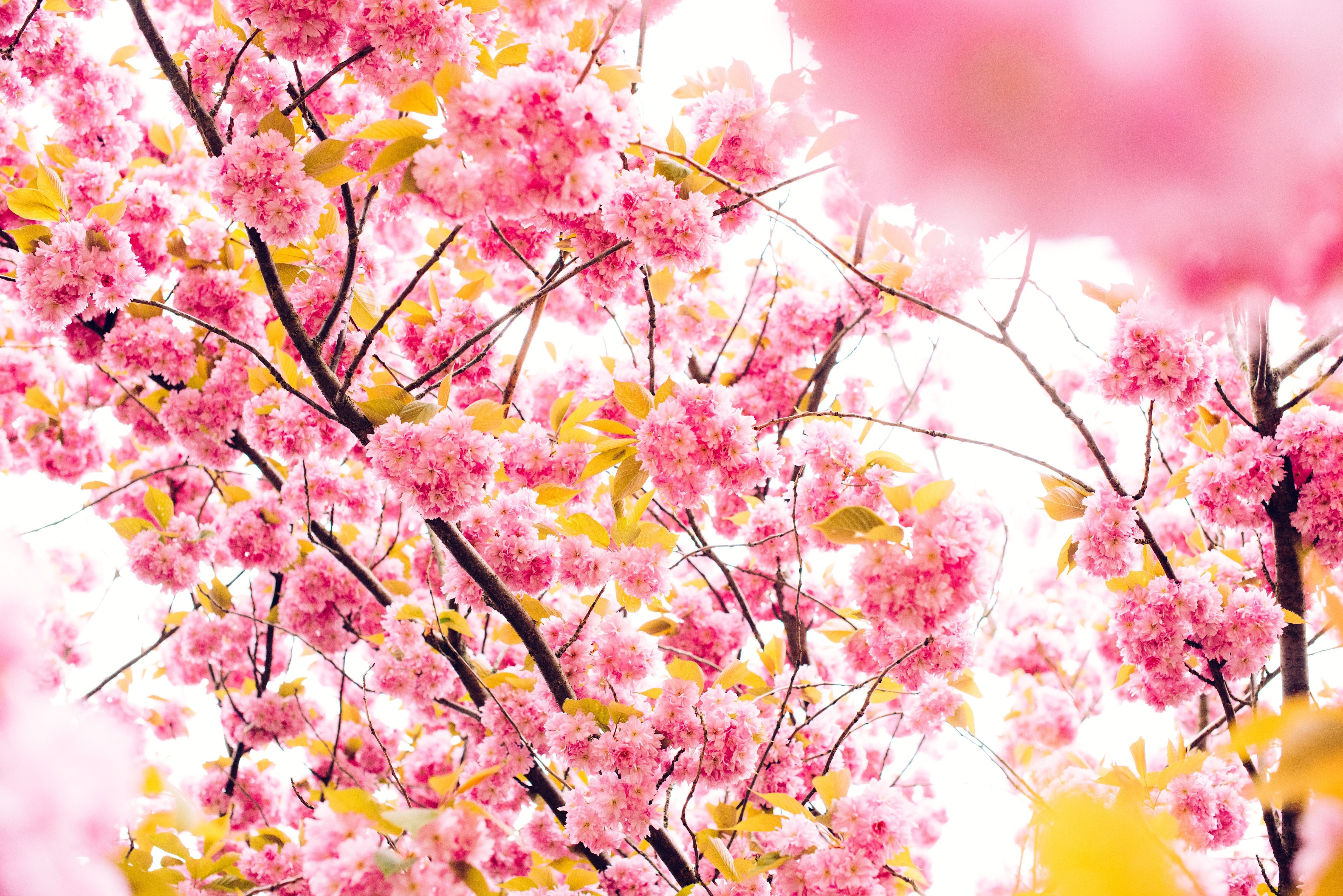 Trees In Spring Spring Cover Photos Blossom Trees Cherry Blossom Tree