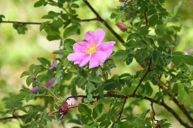 Woods Rose Is A Native To Central Oregon And Is A Lovely Wild Rose Bush Wild Roses Rose Bush Rose